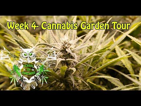 Cannabis Garden Tour - Week 4 Flower | Nutrient Burn Cannabis | Marijuana Garden Tour