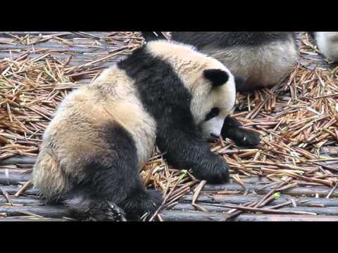 Chengdu, Panda Breeding Center -