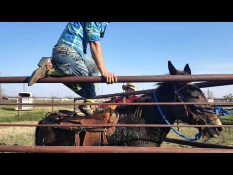 Breaking a wild mule