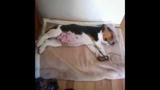Baby Beagle Grow