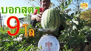 9โลขึ้น!!! บอกสูตรทำแตงโมไร้เมล็ด!! ให้ใหญ่บิ๊ก หวานกรอบ Big Watermelon 9 kg.