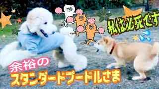 余裕で優しいスタンダードプードル様と必死でガチガチな柴犬 嬉し寂しい楽しい【ドッグラン】❤️柴犬もみさん Shiba Inu Momisan is desperate in a dog run