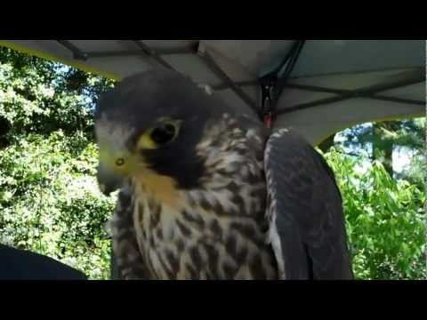 Peregrine Falcon Makes Sounds