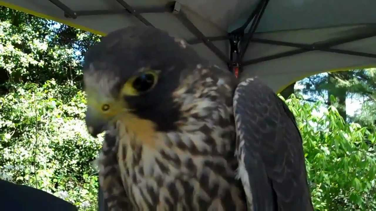 peregrine falcon makes sounds youtube