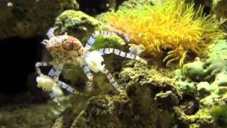 Pompom Crabs Attack!!!!  Irate Boxer Crab Vs Barnacle Blenny!!