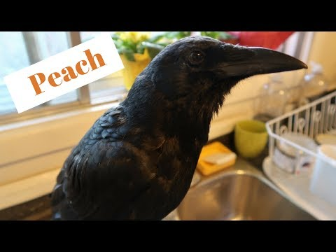FUNNY PET CROW CLIPS