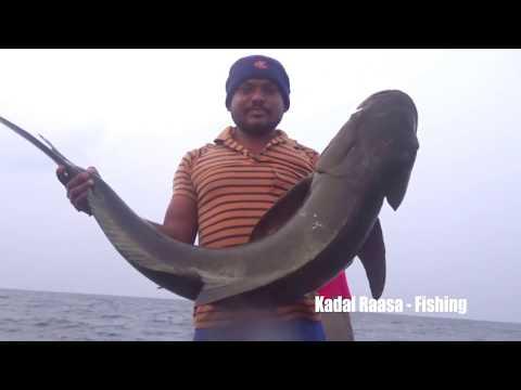 MASSIVE COBIA FISHING EVER!!!