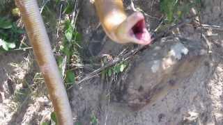Anfisbênia (cobra-de-duas-cabeças)