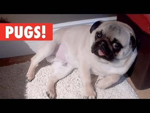 Pugs, Pugs, Pugs! | Breed All About It Compilation