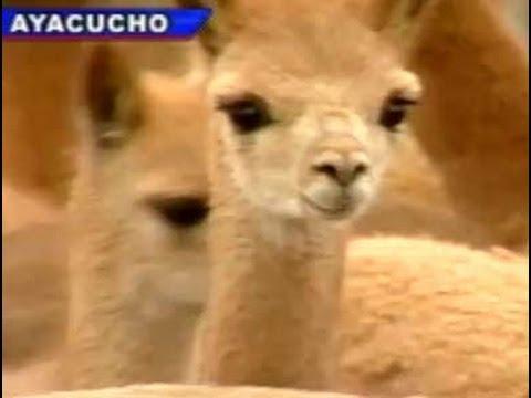 El 'chaccu' de las vicuñas de Pampa Galeras