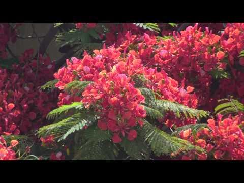 Saffron... Saffron... Everywhere... Gulmohar world's most colorful tree