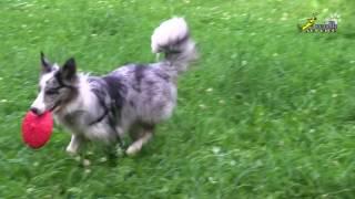 Управляемая городская собака, Команда Сри, бордер-колли воспитание и дрессировка