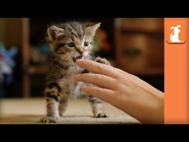Playful Kitten's New Favorite Toy is Human Hands - Kitten Love