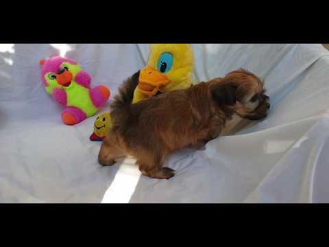 Bonita - Havanese Puppy for sale