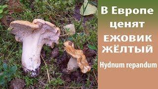 в Европе ценят Ежовик жёлтый - Hydnum repandum
