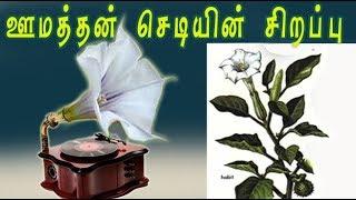 Datura stramonium Medicinal Uses .(ஊமத்தை செடியின் வைத்தியமுறைகள் )