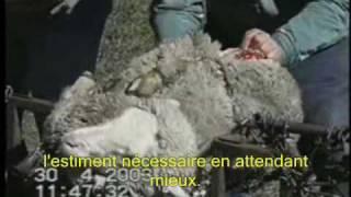 Mulesing - La face cachée de la laine Eng/sub/Fr