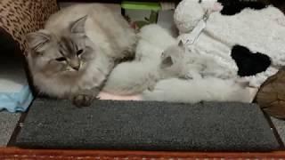Сибирские Невские Маскарадные котята .