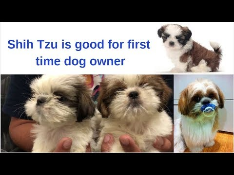 Pet Care - Shih Tzu is good for first time dog owner - Bhola Shola
