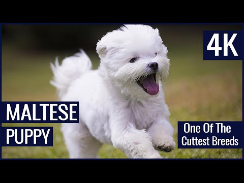 MALTESE CUTE PUPPY ( PERRITO ) - MALTESE BREED ( RAZA ) DOG - 2 MONTHS OLD ALWAYS PLAYFUL ( 4K )