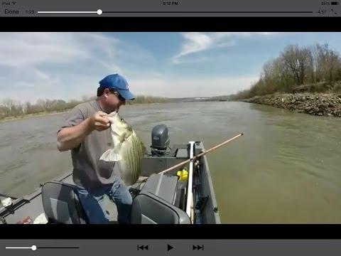 Hybrid Striped Bass MO River pitching jigs KCMO Missouri USA