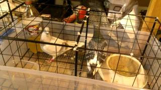 Easy Breeding Cages for Pigeons