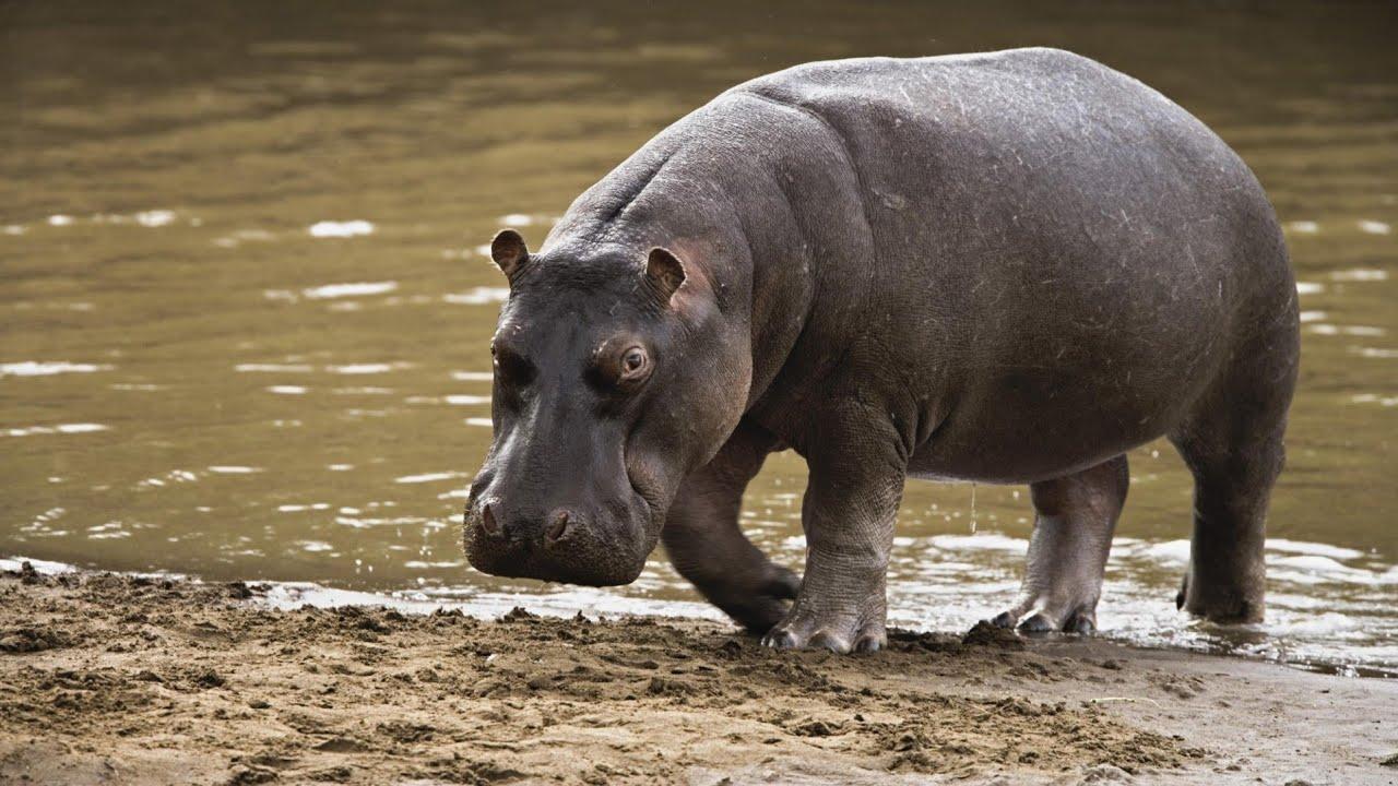 hipopotam de vedere injecții în spatele urechii pentru vedere