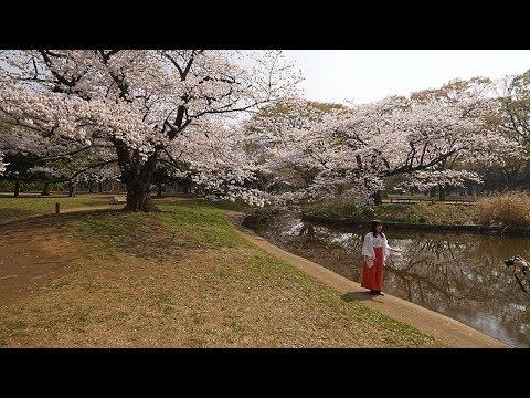 【4K】Morning Yoyogi park ohanami
