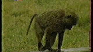 Диалоги о Животных (1998) Павианы