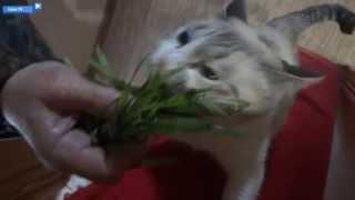 Кошка хищно жрет травку, смешные котики, прикол, весело! -~-~~-~~~-...