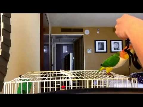 Harness training with my white bellied caique