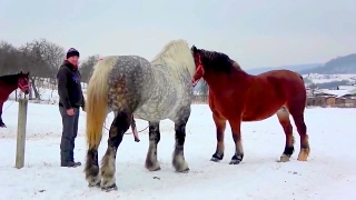 Beautiful Horse Mating Ever Finally Female Receives the Male
