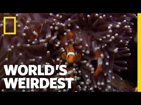 Anemone Killer Fish Traps | World's Weirdest