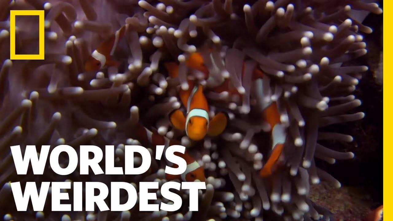 Anemone Killer Fish Traps | World's Weirdest