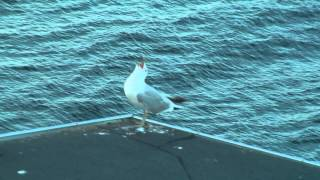 Two seagulls calling together thumbnail