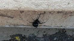 Black Widow Spider Death