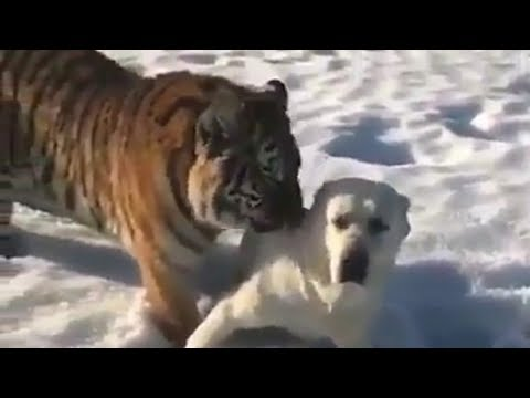 Tiger and dog playing in snow