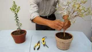 Pre bonsai  Poda y alambrado