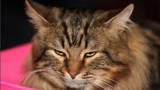 Смешной СИБИРСКИЙ КОТ. Смешные коты и кошки.