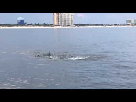 Dolphins In Orange Beach Alabama Number Two