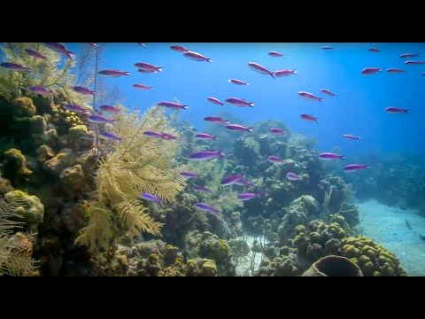 Coral Reefs of the Caribbean