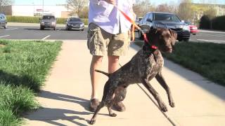 Jethro The German Shorthair Pointer