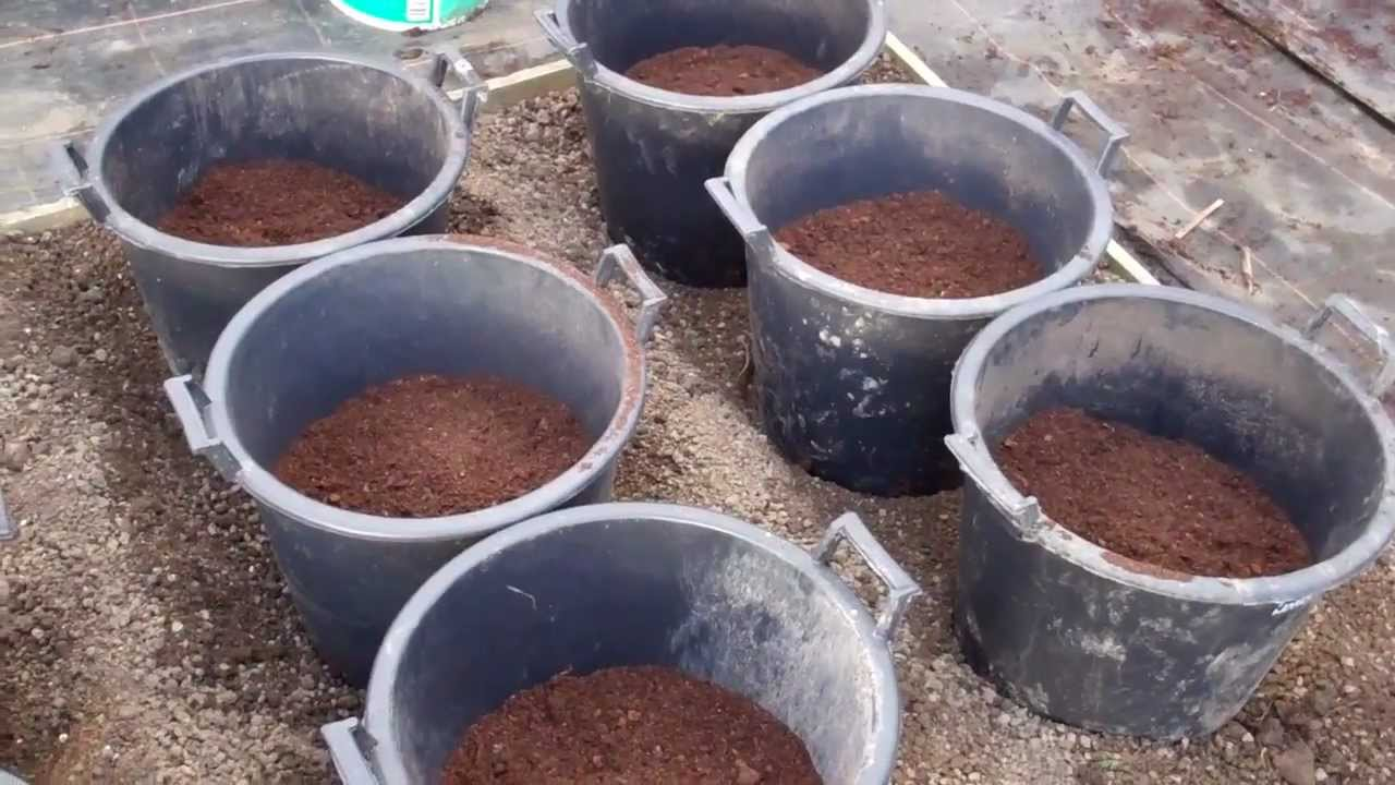 Allotment Dairy : Growing Potatoes In Containers,how To Boost Your Yield To  Get A Bumper Crop  Youtube