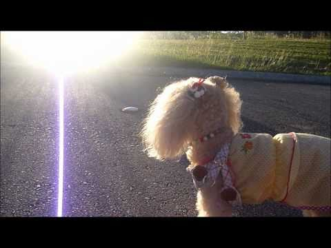 I'm Toy Poodle!  run♪run♪run♪
