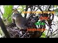 Nemu Sarang Burung Mirip Srdc Dan Jongkangan  Mp3 - Mp4 Download