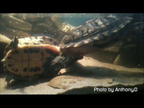 PET TURTLES MATING - rare event