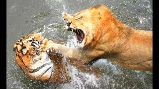 Animals Fights! Tigers Vs Lions & Bear! Epic Tiger Fights