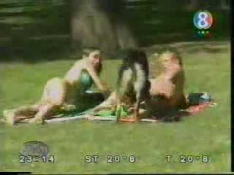 Chó nghiệp vụ kiểu Úc (videokyniem.com)