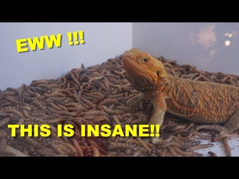 1000 Super Worms VS 10 Bearded Dragons !!! You Must Watch This !!