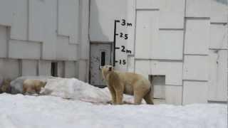 円山動物園で産まれたシロクマの双子の赤ちゃんです。 北海道の動物園 h...
